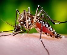 комар вида Aedes aegypti