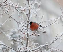 снегирь на дереве