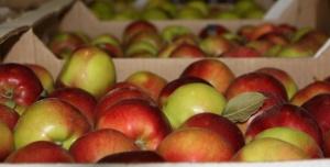Россельхознадзор, реэкспорт, Беларусь, турецкие яблоки, запрет, поставки